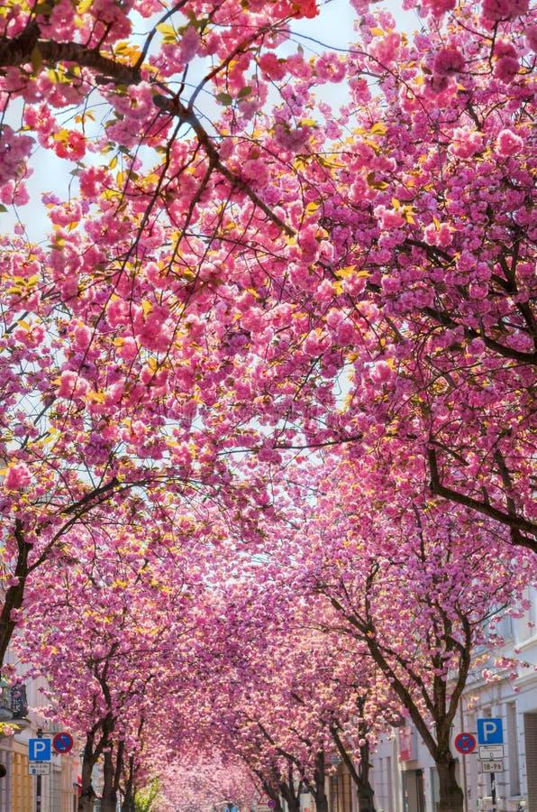 Árvores de cereja na cidade velha de Bona, Alemanha imagens de stock royalty free