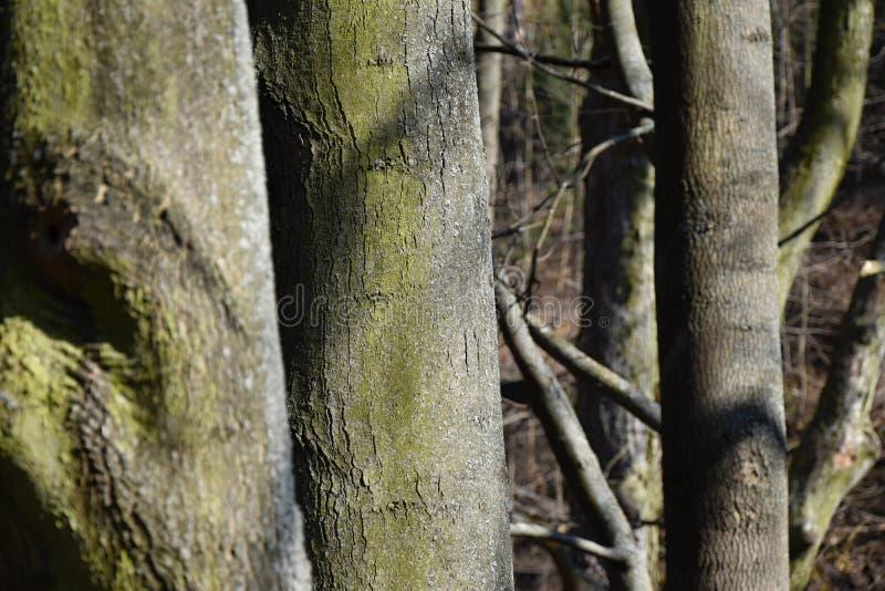 Árvores de cinza antes de quebrar as folhas novas imagens de stock royalty free