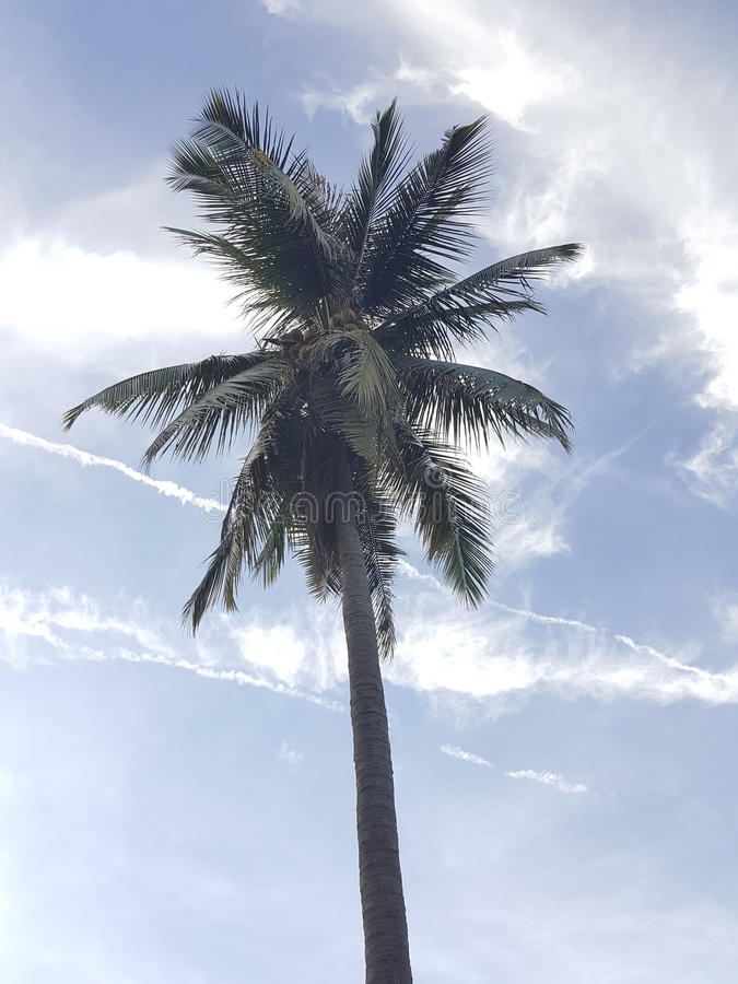 árvores de coco, céu azul fotos de stock