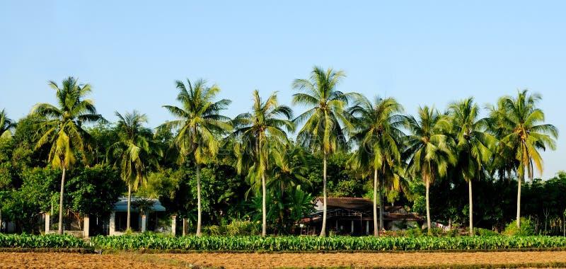 Árvores de coco verdes fotografia de stock