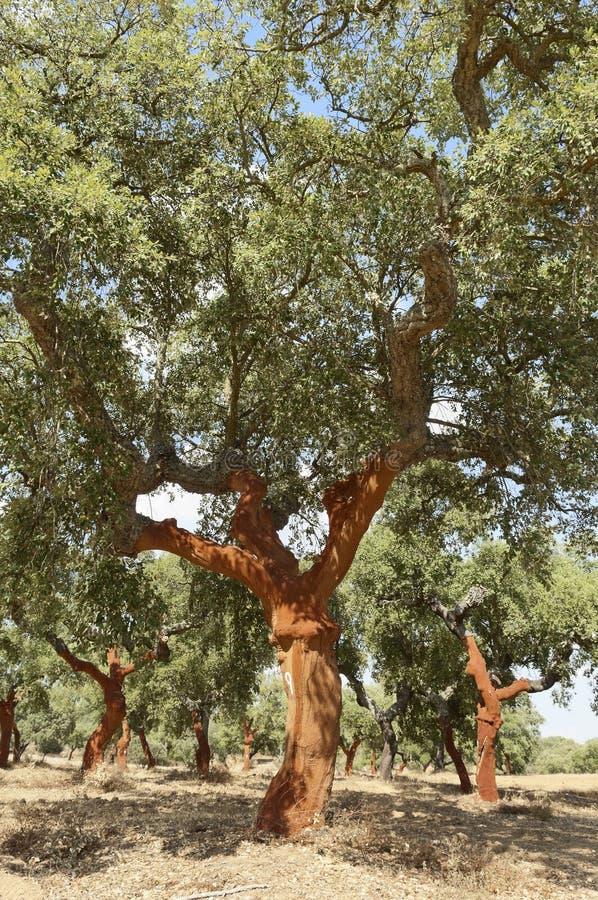 Árvores de cortiça fotos de stock royalty free