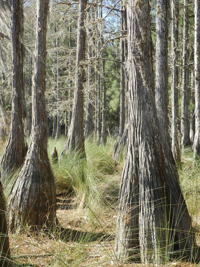 Árvores de Cypress fotografia de stock