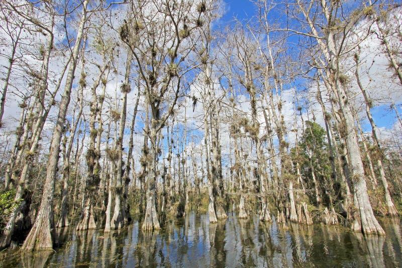 Árvores de Cypress calvo, distichum do Taxodium, pântano, marismas parque nacional, Florida, EUA foto de stock royalty free