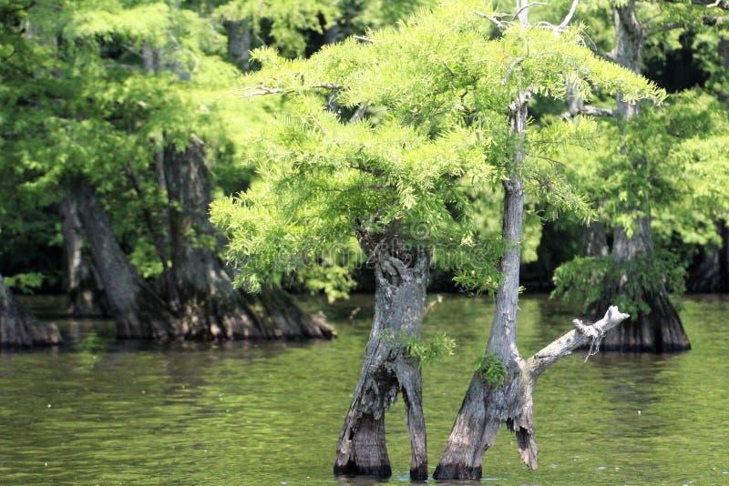 Árvores de Cypress na água fotos de stock royalty free
