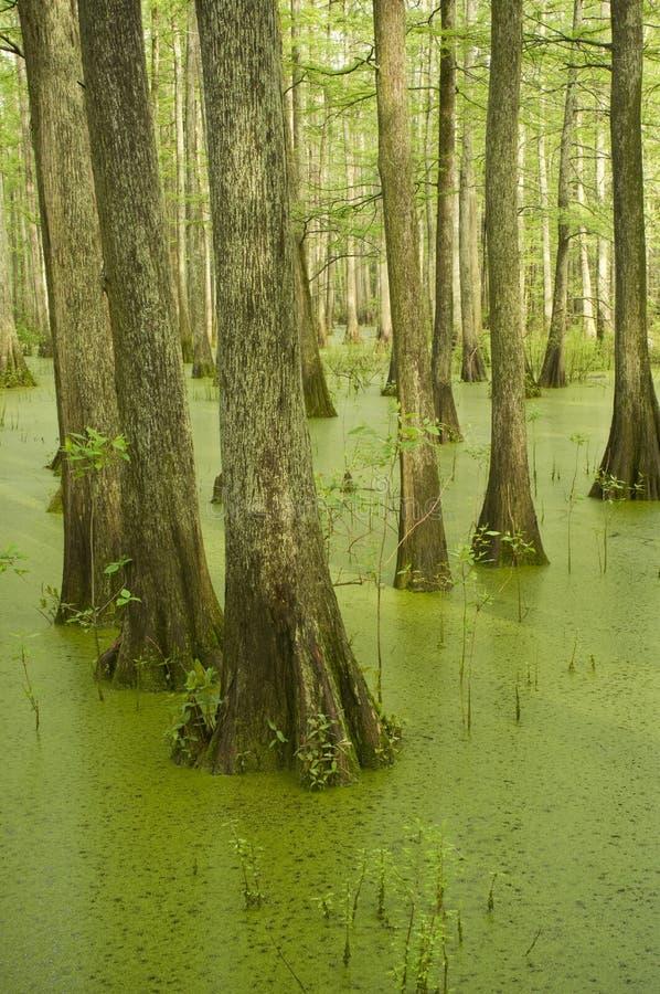 Árvores de Cypress no pântano imagens de stock