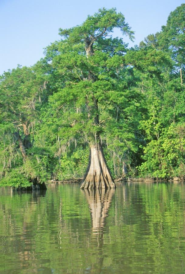 Árvores de Cypress parque estadual de Fausse Pointe na albufeira, lago, Louisiana imagens de stock