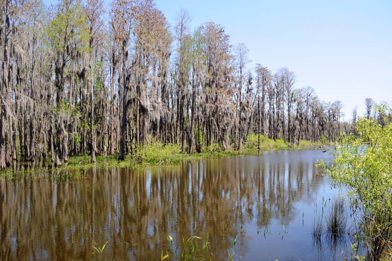 Árvores de Cypress que estão na borda da lagoa de Florida imagem de stock royalty free