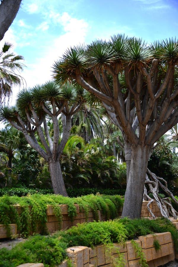 Árvores de dragão em um jardim em Tenerife foto de stock