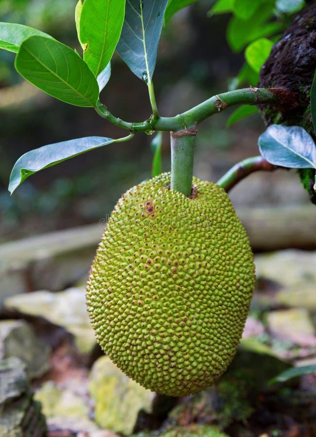 Árvores de Durian foto de stock