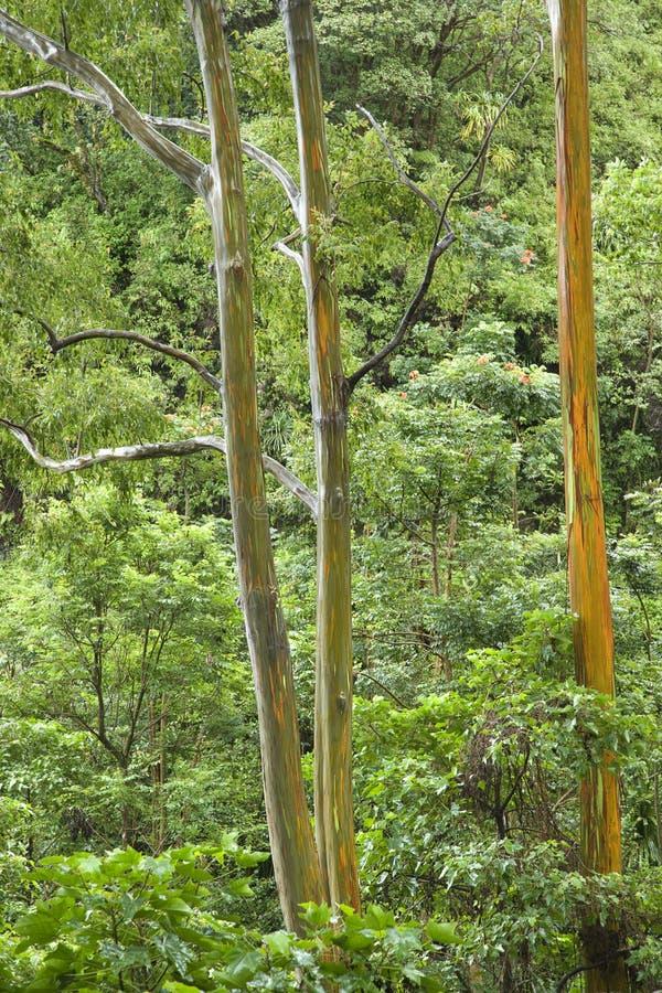 Árvores de eucalipto do arco-íris. foto de stock