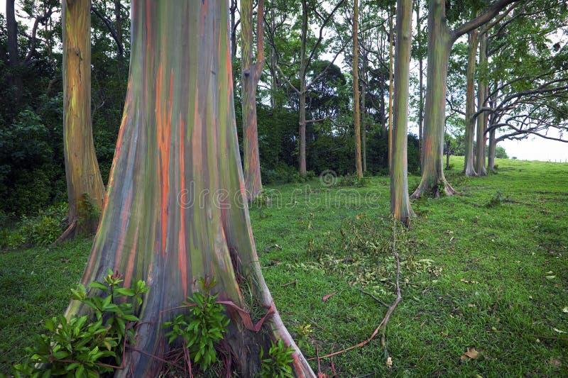 Árvores de eucalipto do arco-íris, Maui, consoles havaianos fotos de stock