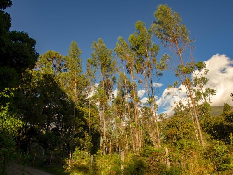 Árvores de Eucaliptus nas montanhas foto de stock