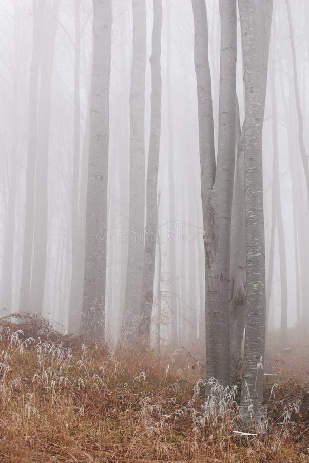 Árvores de faia   imagens de stock