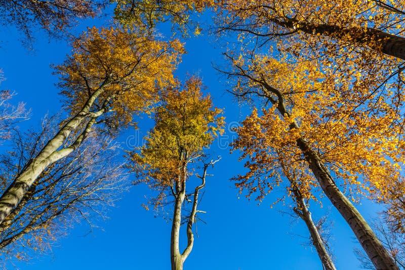Árvores de faia - Beechwood de Voderady, Czechia foto de stock royalty free