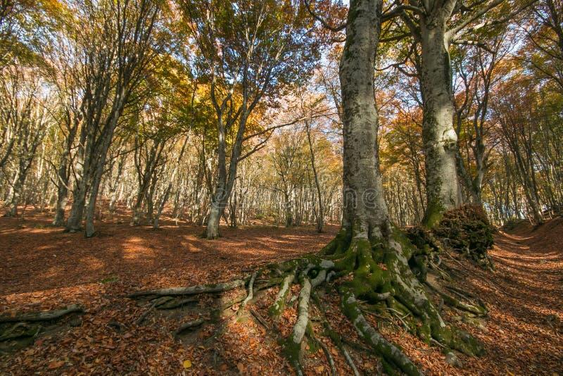 Árvores de faia com raizes grandes na madeira imagem de stock royalty free