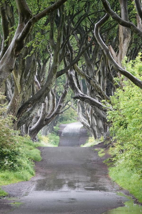 Árvores de faia escuras das conversão que alinham a estrada de Bregagh em Irlanda do Norte fotografia de stock