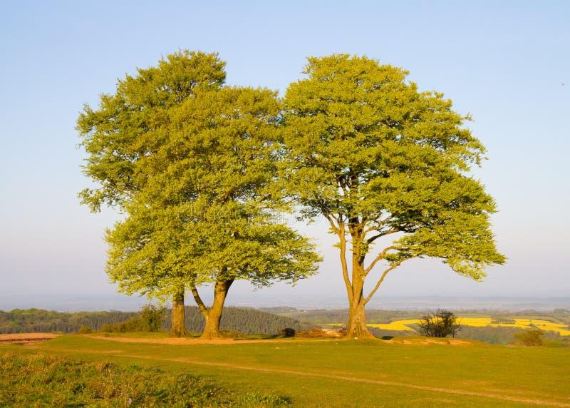 Árvores de faia nos montes de Quantock em Somerset fotos de stock royalty free