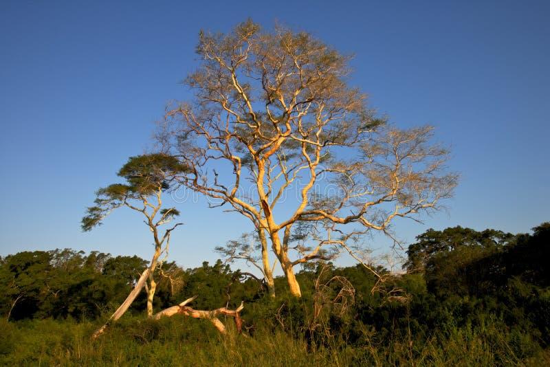 Árvores de febre foto de stock royalty free