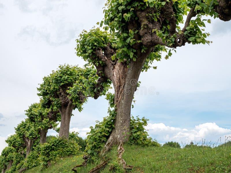 Árvores de Feston, árvores da avenida, árvores especialmente cortadas imagem de stock royalty free
