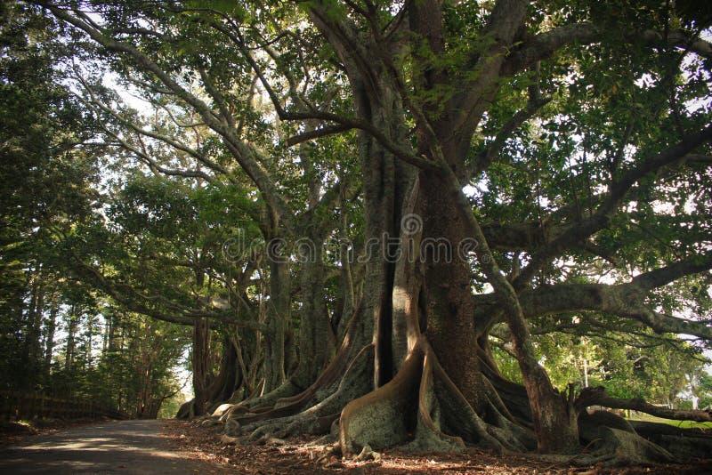Árvores de figo do louro de Moreton imagens de stock royalty free