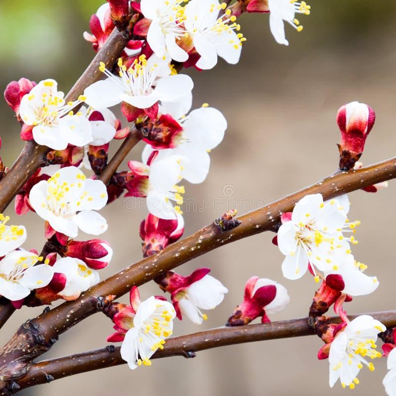 Árvores de florescência da mola Polinização das flores do abricó flor fotos de stock royalty free