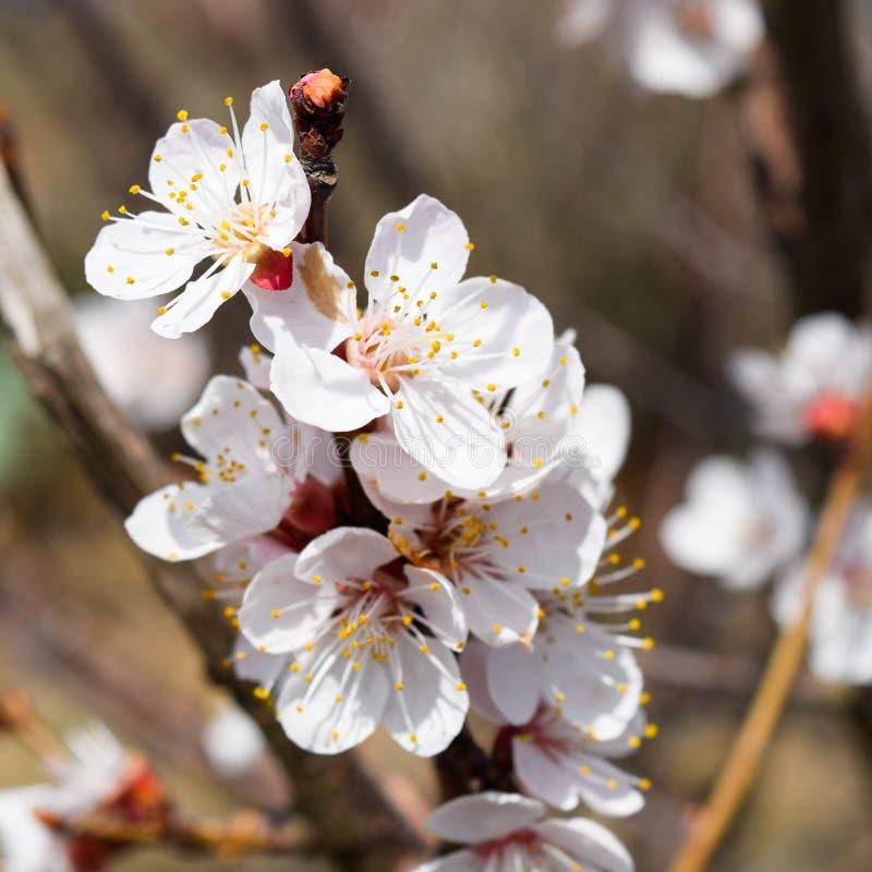 Árvores de florescência da mola Polinização das flores do abricó flor imagem de stock royalty free