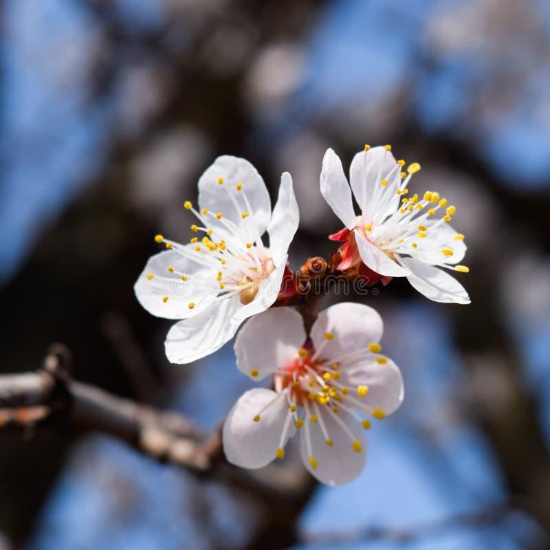 Árvores de florescência da mola Polinização das flores do abricó flor imagem de stock