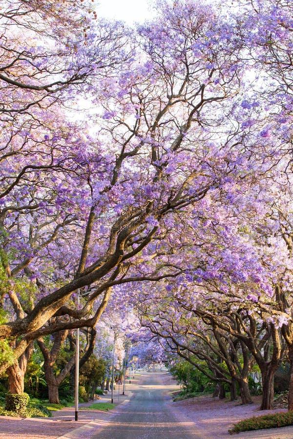 Árvores de florescência do jacaranda que alinham a rua no tampão de África do Sul fotos de stock