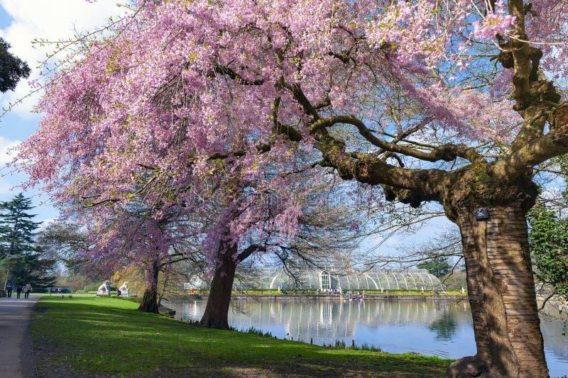 Árvores de florescência em jardins de Kew, um jardim botânico da flor de cerejeira no sudoeste Londres, Inglaterra fotografia de stock royalty free