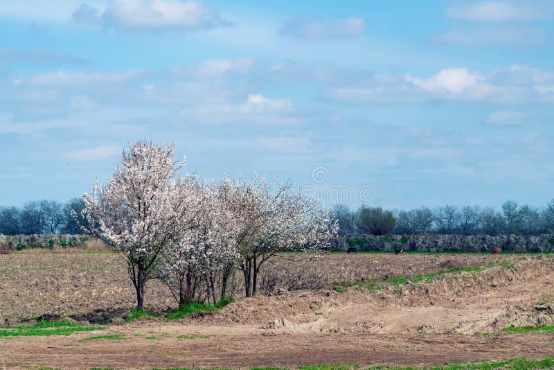 Árvores de florescência em um campo de exploração agrícola no tempo de mola foto de stock royalty free