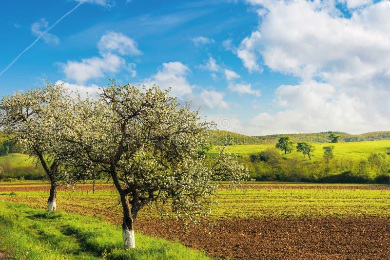 Árvores de florescência perto do campo agrícola foto de stock royalty free