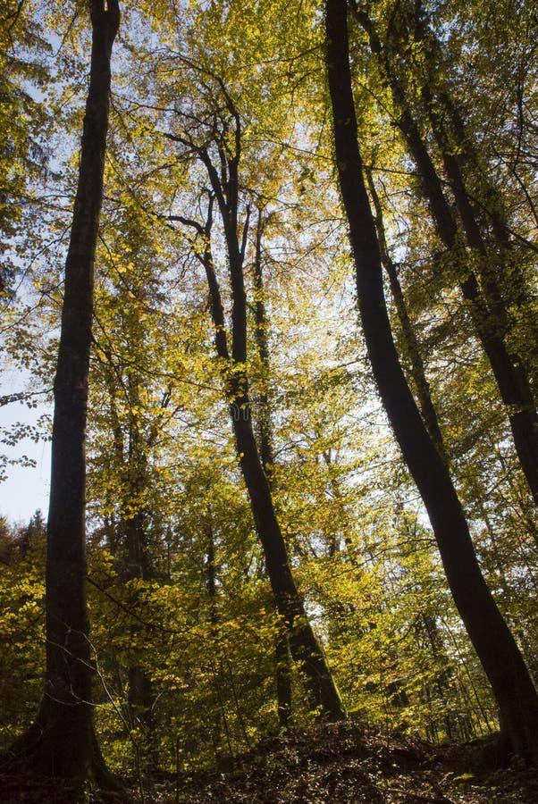 Árvores de floresta altas no outono fotos de stock royalty free