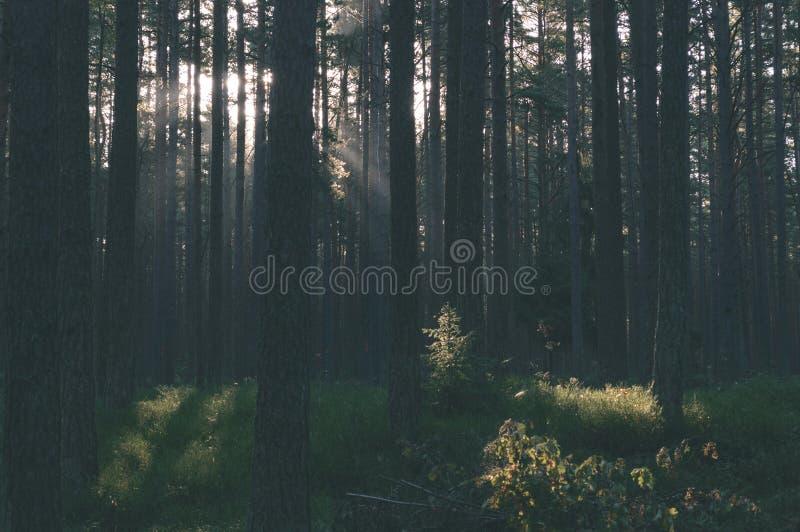 árvores de floresta escuras e temperamentais na noite atrasada - olhar retro do vintage fotos de stock royalty free