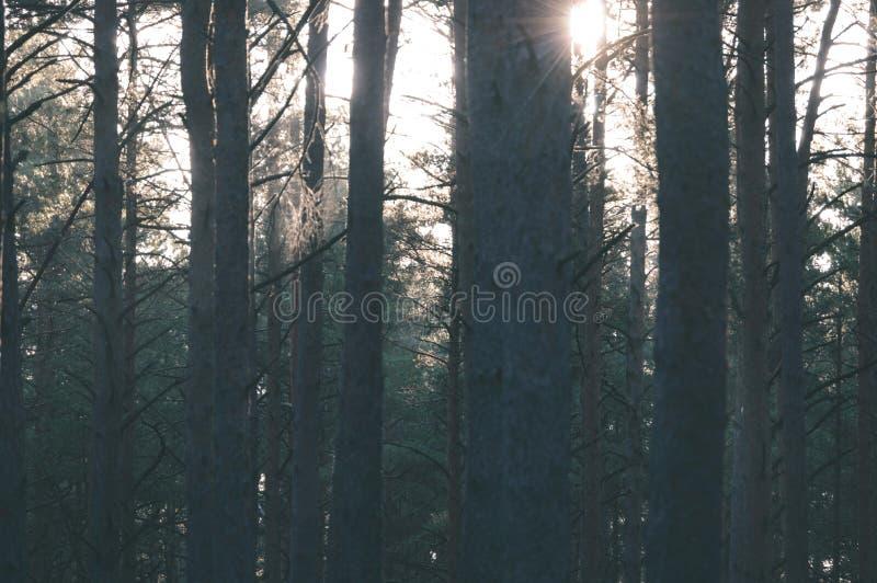 árvores de floresta escuras e temperamentais na noite atrasada - olhar retro do vintage fotografia de stock
