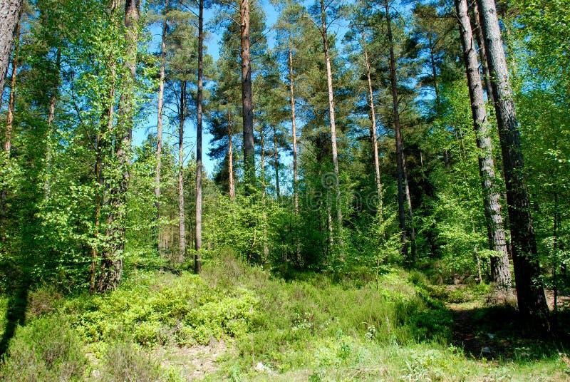 Árvores de floresta verdes altas imagem de stock