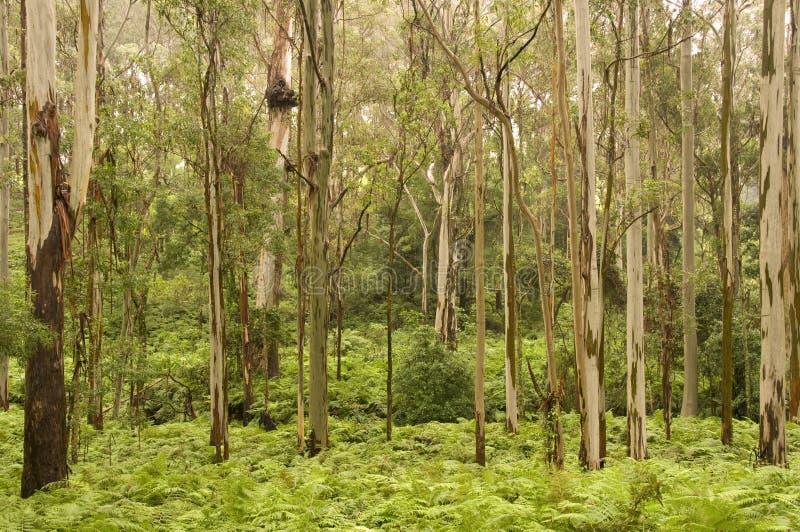 Árvores de goma fotos de stock royalty free