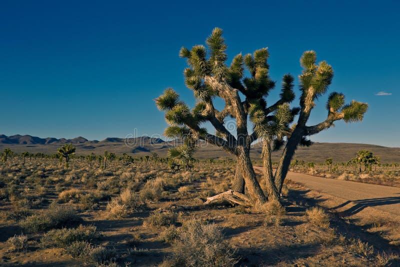 Árvores de Joshua (brevifolia do Yucca) fotos de stock royalty free