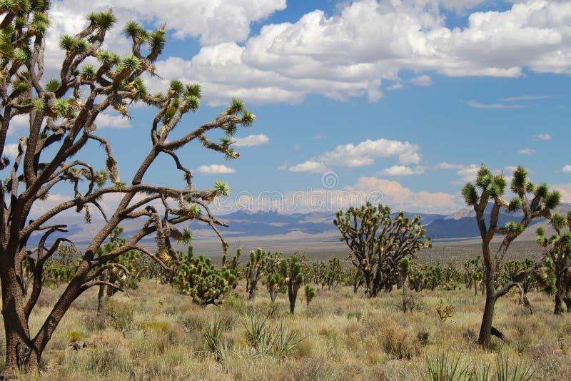 Árvores de Joshua no deserto de Mojave fotos de stock