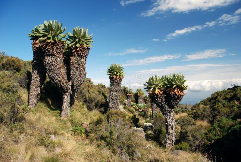 Árvores de Kilimanjaro fotografia de stock royalty free