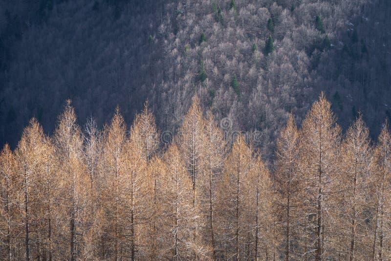 Árvores de larício alpinas foto de stock royalty free