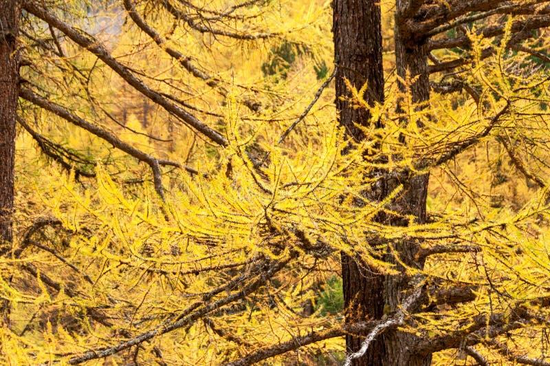 Árvores de larício coloridas na área de Zermatt, cumes suíços fotografia de stock royalty free