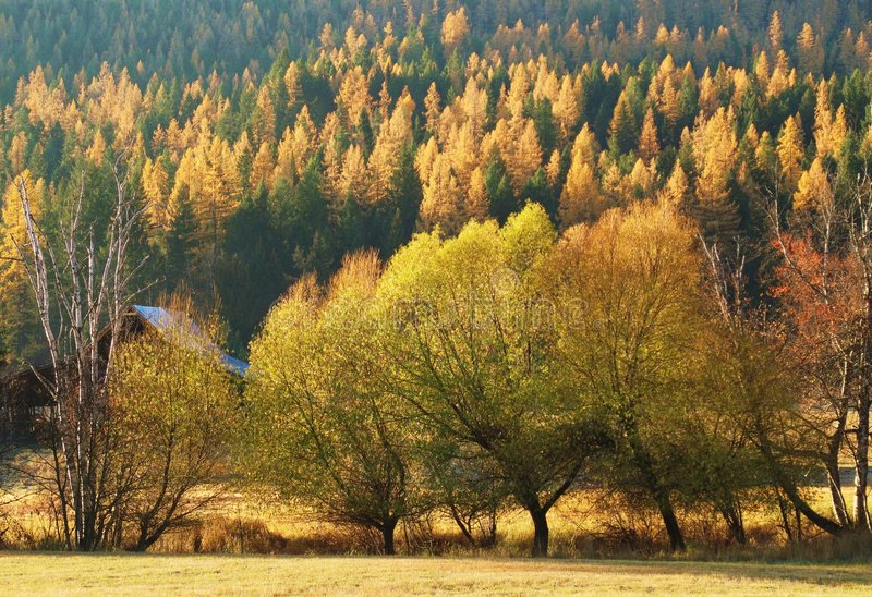 Árvores de larício do outono de Montana fotografia de stock royalty free