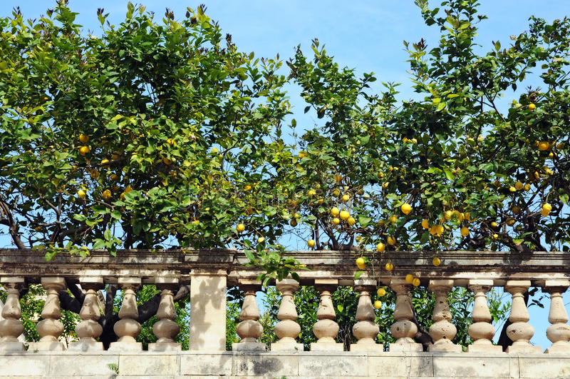 Árvores de limão imagem de stock royalty free