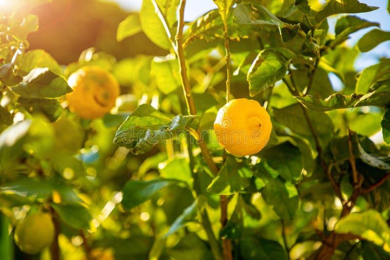 Árvores de limão em um bosque do citrino em Sicília, Itália foto de stock royalty free