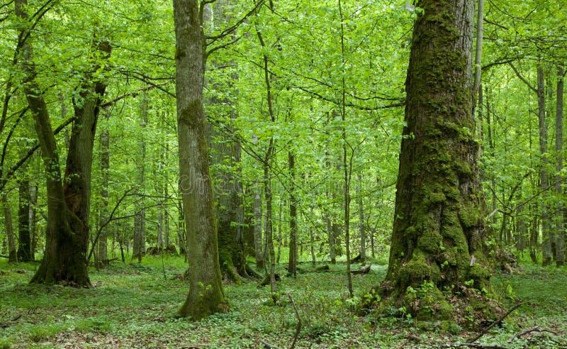 Árvores de Linden velhas na floresta do sumertime fotografia de stock royalty free