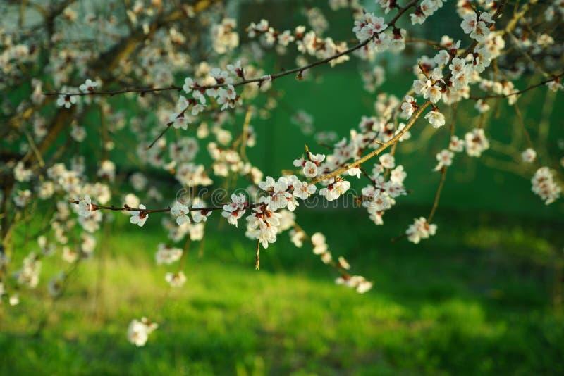 Árvores de maçã de florescência fotos de stock