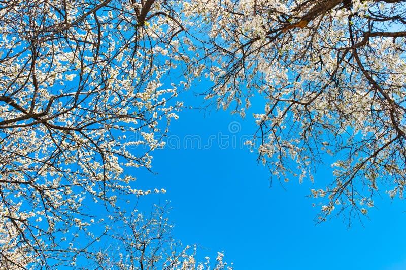 Árvores de maçã de florescência contra o fundo do céu azul foto de stock