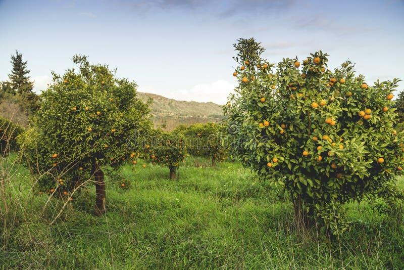 Árvores de mandarino imagens de stock