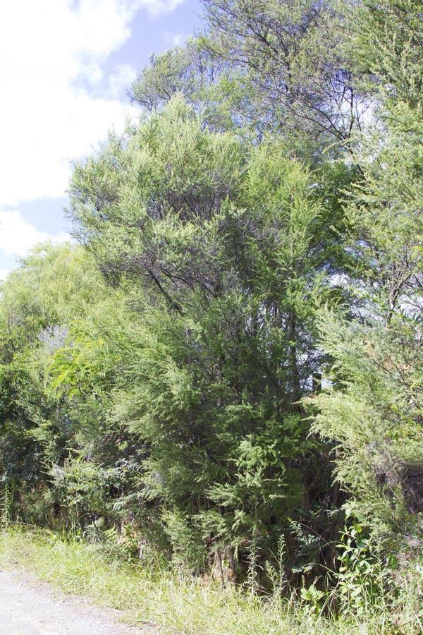 Árvores de Manuka imagem de stock