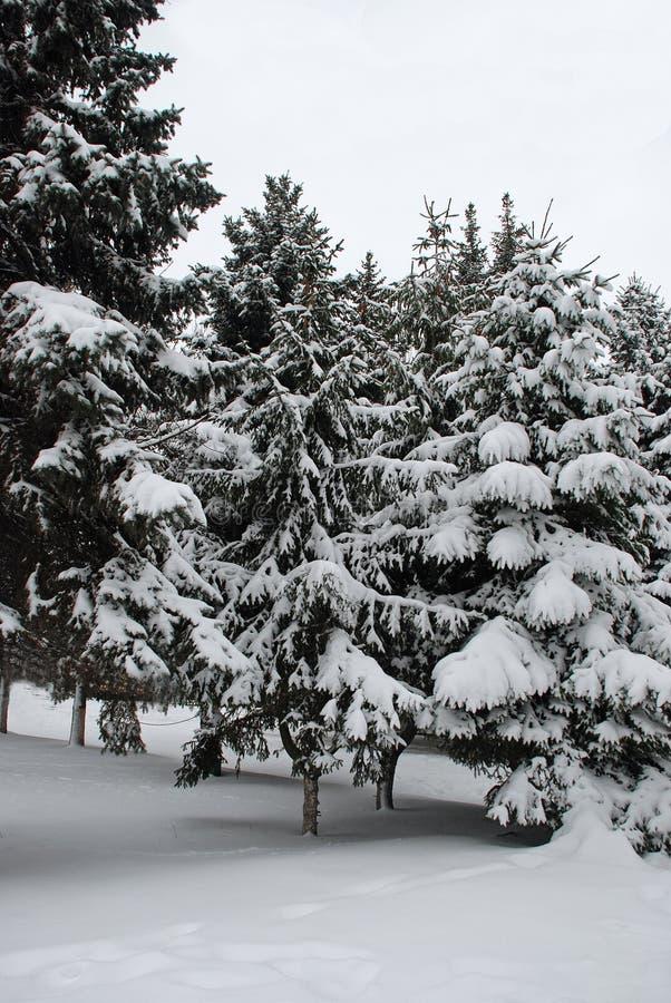 Download Árvores de Natal foto de stock. Imagem de imagem, horizontal - 12811480
